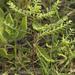 Phyllanthus abnormis - Photo (c) Layla, todos los derechos reservados, uploaded by Layla Dishman