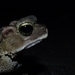 Sulawesian Toad - Photo (c) benjamin, all rights reserved, uploaded by Benjamin Tapley
