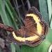 Junonia terea - Photo (c) Ian Pearson, todos los derechos reservados