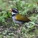 Orange-billed Sparrow - Photo (c) Ben Sanders, all rights reserved