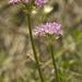 Allium drummondii - Photo (c) Layla, כל הזכויות שמורות, uploaded by Layla Dishman