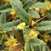 Berberis julianae - Photo (c) Janet Wooten, todos los derechos reservados