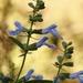 Salvia azurea grandiflora - Photo (c) Layla, todos los derechos reservados, uploaded by Layla Dishman