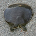 Softshell and Flapshell Turtles - Photo (c) Joe Coelho, all rights reserved