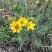 Engelmannia peristenia - Photo (c) harrymansw, כל הזכויות שמורות