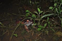 Leptodactylus savagei image