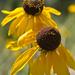 Rudbeckia grandiflora - Photo (c) Layla, todos los derechos reservados, uploaded by Layla Dishman