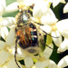 Hairy Flower Scarab - Photo (c) jawinget, all rights reserved, uploaded by jawinget