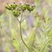Trepocarpus aethusae - Photo (c) Layla, todos los derechos reservados, uploaded by Layla Dishman