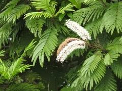 Pentaclethra macroloba image