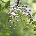 Sophora affinis - Photo (c) Layla, כל הזכויות שמורות, uploaded by Layla Dishman
