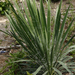 Gulf Coast Yucca - Photo (c) Layla, all rights reserved, uploaded by Layla Dishman