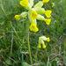 Primula veris veris - Photo (c) Tig, todos los derechos reservados