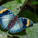 Euphaedra medon - Photo (c) Rogério Ferreira, todos los derechos reservados