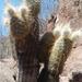 Echinocereus bristolii floresii - Photo (c) Faustino Campuzano León, todos los derechos reservados