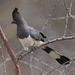 White-bellied Go-Away-Bird - Photo (c) Lip Kee, some rights reserved (CC BY-SA)
