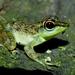 Rock Frog - Photo (c) benjamin, all rights reserved, uploaded by Benjamin Tapley