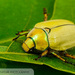 Goldsmith Beetle - Photo (c) John and Kendra Abbott, all rights reserved, uploaded by John Abbott