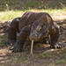 Komodo Dragon - Photo (c) Liesbeth, all rights reserved