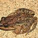 Sabinal Frog - Photo (c) hardingj, all rights reserved, uploaded by hardingj