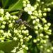Sphiximorpha barbipes - Photo (c) Roberto Battaglia, todos los derechos reservados