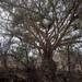 Ficus pringlei - Photo (c) guadalupe_cornejo_tenorio, all rights reserved