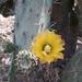 Opuntia atropes - Photo (c) Manuel CA, όλα τα δικαιώματα διατηρούνται