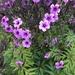 Geranium maderense - Photo (c) rem253, todos los derechos reservados