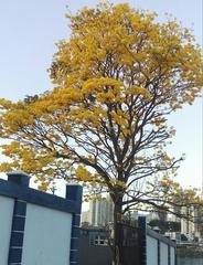Handroanthus guayacan image