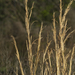 Broomsedge Bluestem - Photo (c) Layla, all rights reserved, uploaded by Layla Dishman