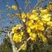 Lluvia de Oro Asiática - Photo (c) Jaqui Coll, todos los derechos reservados