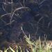 Channa aurolineata - Photo (c) Woodsaytr, todos os direitos reservados