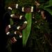 Falsa Coral - Photo (c) Raby Núñez, todos los derechos reservados