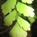 maidenhair ferns - Photo (c) designonze, all rights reserved, uploaded by Gabriela Castro