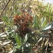Pentacalia andicola - Photo (c) sandyarroyo, todos los derechos reservados