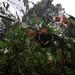 Papilio coroebus syndemis - Photo (c) camila jaramillo martinez, todos los derechos reservados