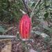 Cacao - Photo (c) jefferson guerrero, todos los derechos reservados