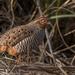 Perdicula asiatica - Photo (c) Robin James, כל הזכויות שמורות