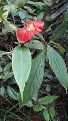 Psychotria poeppigiana image