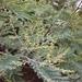 Acacia Australiana - Photo (c) Diego Almendras, todos los derechos reservados