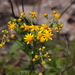 Piedmont Ragwort - Photo (c) jtuttle, all rights reserved