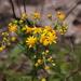 Packera millefolium - Photo (c) jtuttle, כל הזכויות שמורות