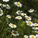 Oxeye Daisy - Photo (c) Layla, all rights reserved, uploaded by Layla Dishman