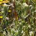 Brickellia eupatorioides texana - Photo (c) Layla, todos los derechos reservados, uploaded by Layla Dishman