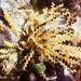 Sertularella - Photo (c) Wendy Feltham, todos los derechos reservados