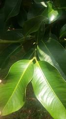 Garcinia mangostana image