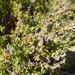 Tetragonia fruticosa - Photo (c) Corinne Merry, כל הזכויות שמורות