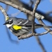 Myrtle Warbler - Photo (c) cornwallcen, some rights reserved (CC BY), uploaded by Shirley Zundell