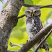 Little Owls and Allies - Photo (c) amangujar, all rights reserved, uploaded by Aman Gujar
