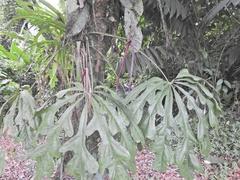 Anthurium clavigerum image